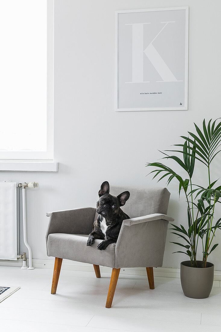 Dog sitting on grey armchair next to houseplant