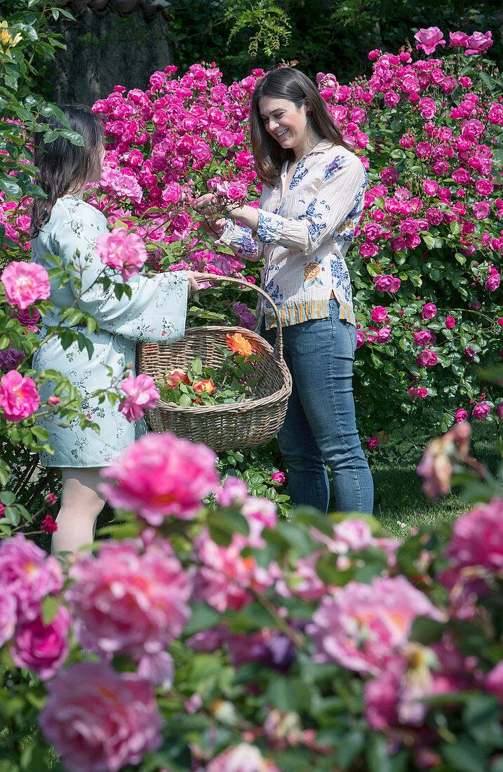 Woman cutting roses in garden