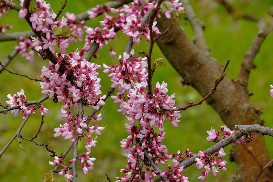 Flowering Judas tree