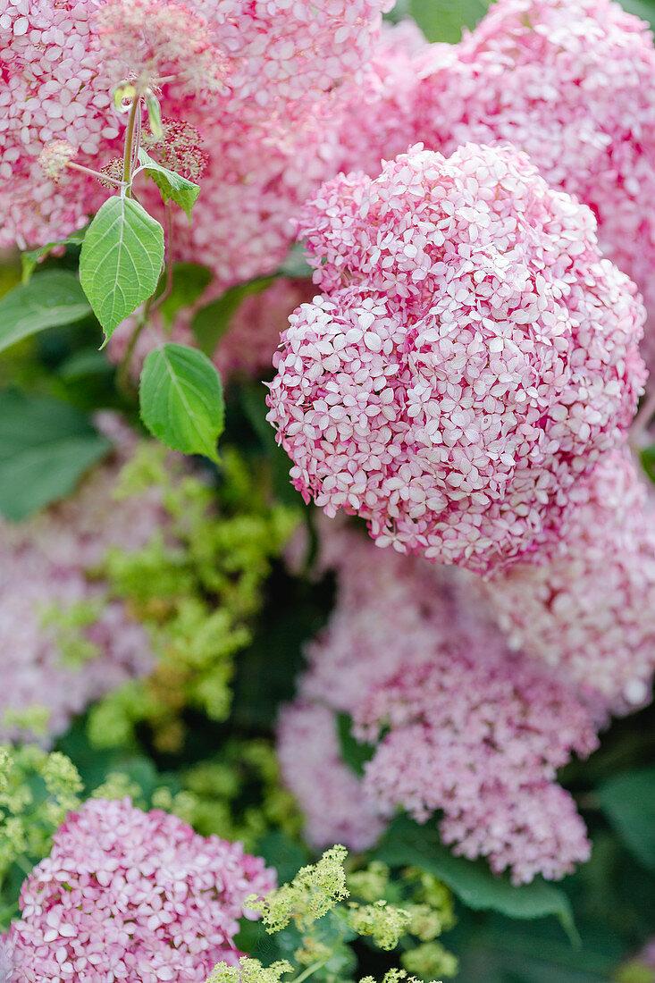 Hydrangea 'annabelle Pink'