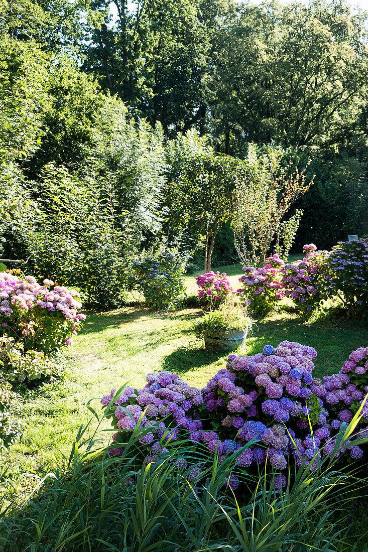 Flowering hydrangeas in garden