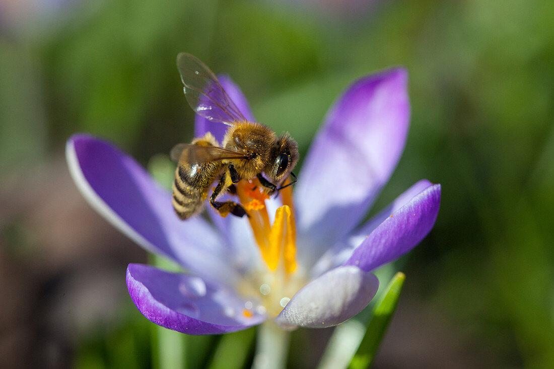 Honey Bee at crocus flower, Apis mellifera, Bavaria, Germany