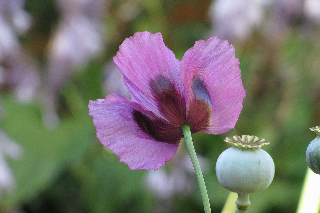 Seed pod and flower of opium poppy