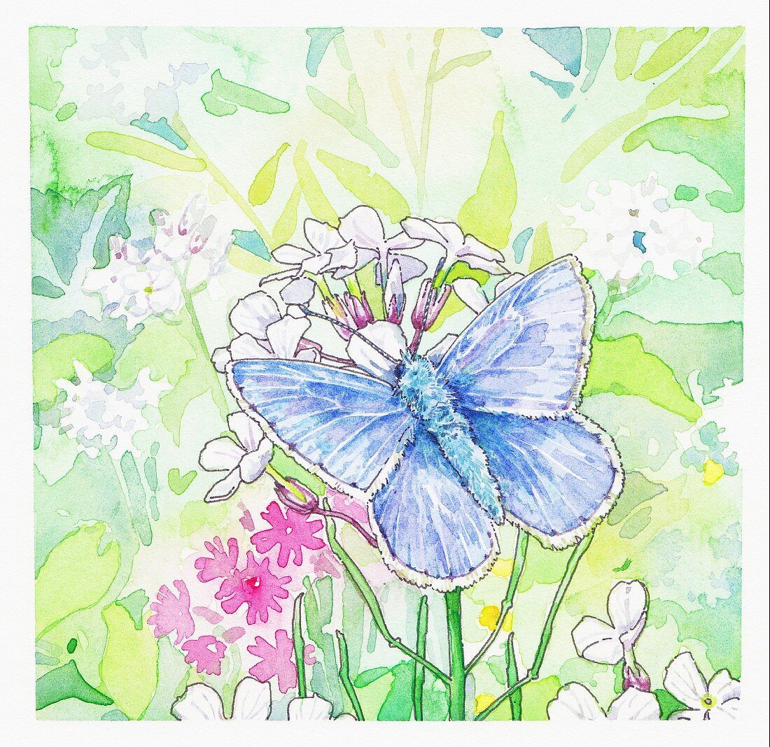 Common Blue Butterfly on flowers