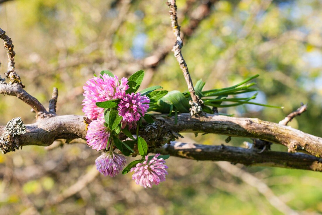 Posy of red clover (Trifolium pratense) tied with grass on rotten branch