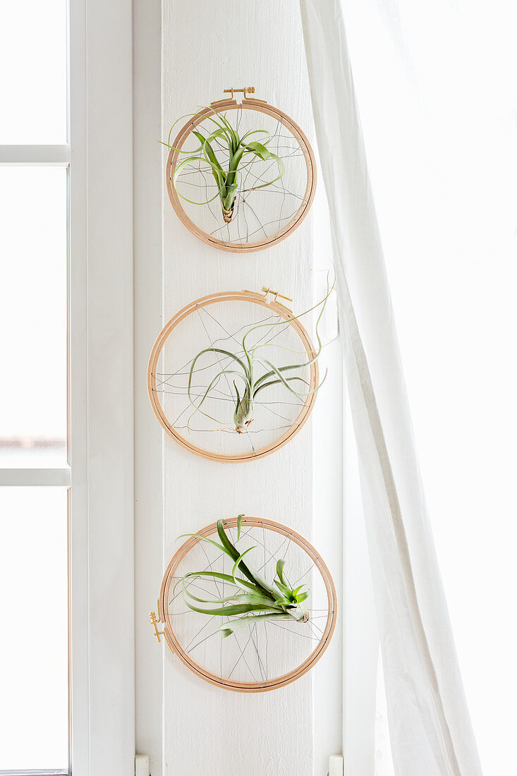 Air plants mounted in embroidery hoops wrapped with wire