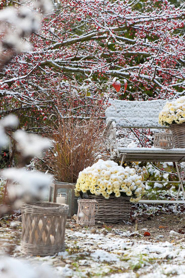 The first snow in the garden, Chrysanthemum multiflora
