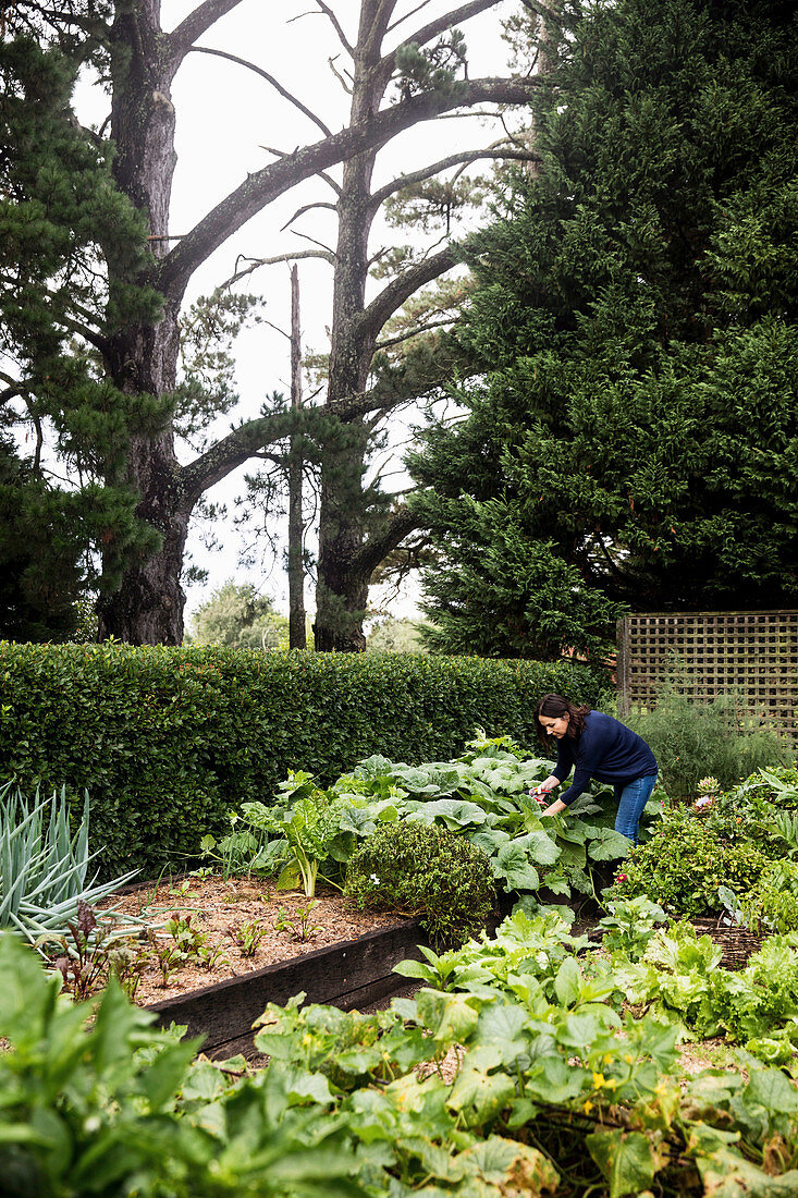 Woman works in the garden with raised beds and hedge