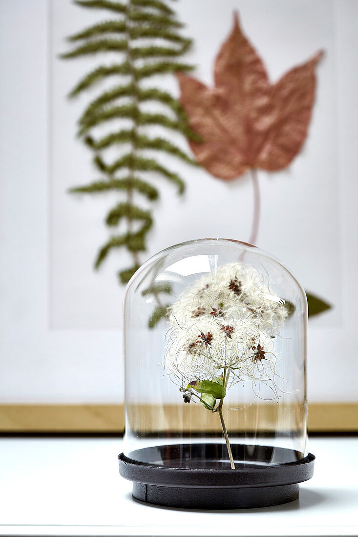 Seed pods of the wild clematis under a glass cover, dried leaves in the background