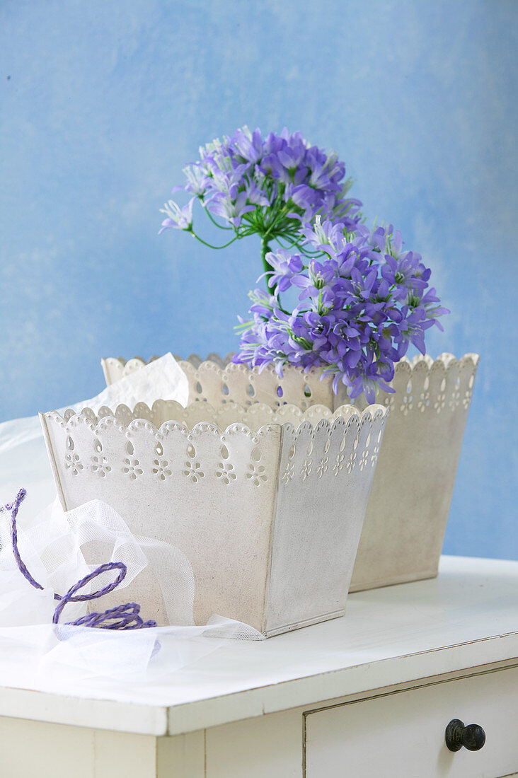 Blue agapanthus in one of two romantic pots with ornate edges