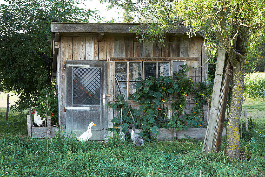 Indian Runner ducks and hens outside rustic shed in garden