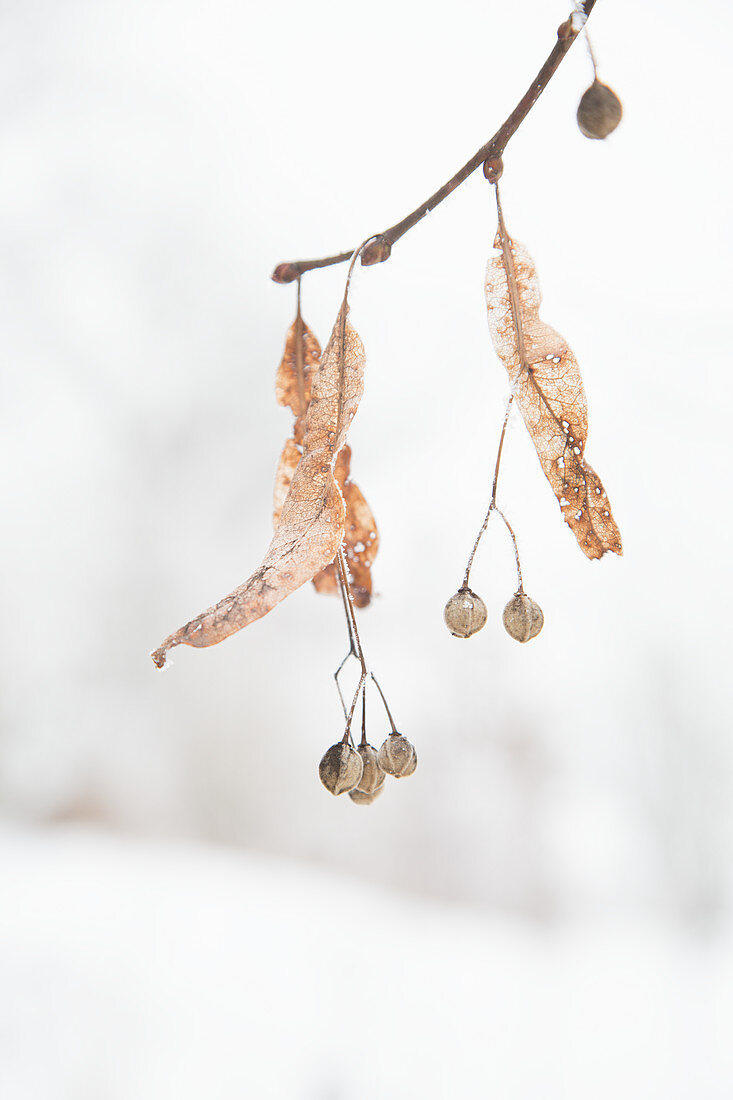 Lime tree seeds on branch in winter