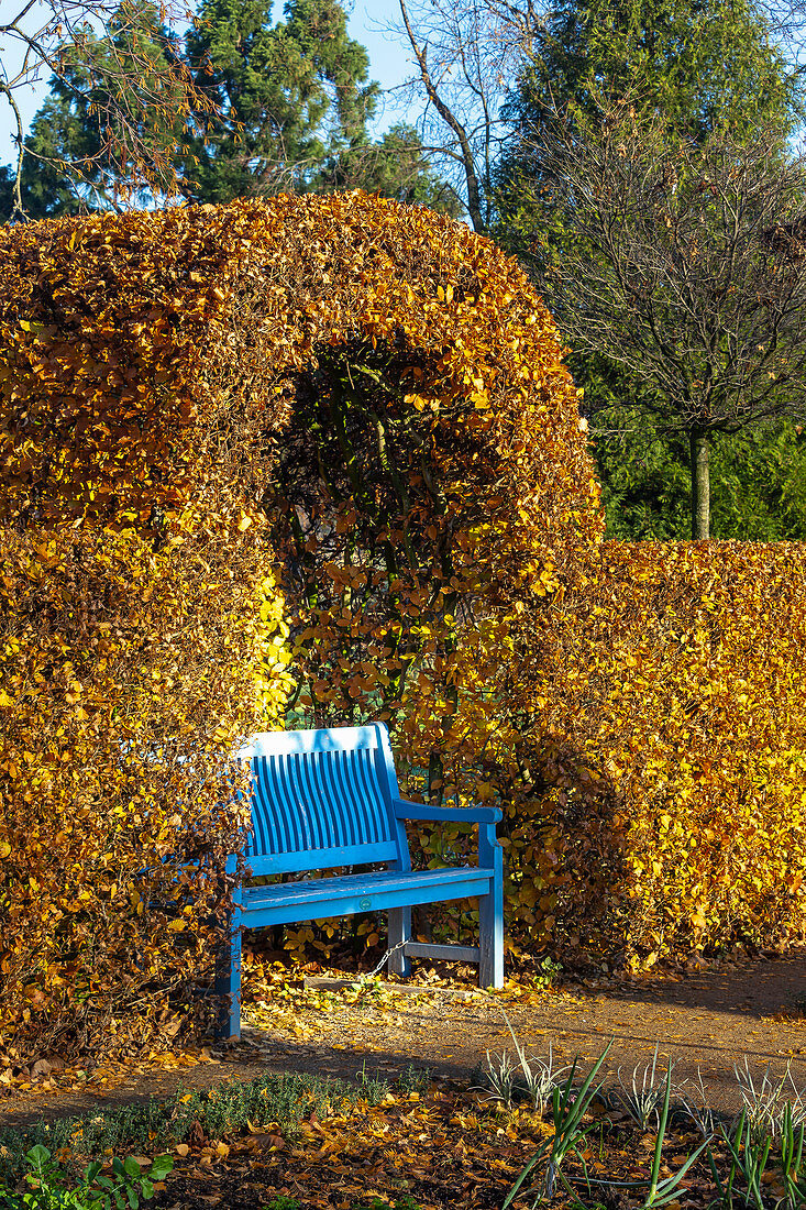 Blue garden bench in front of autumnal beech hedge (Kreislehrgarten, Steinfurt, Germany)