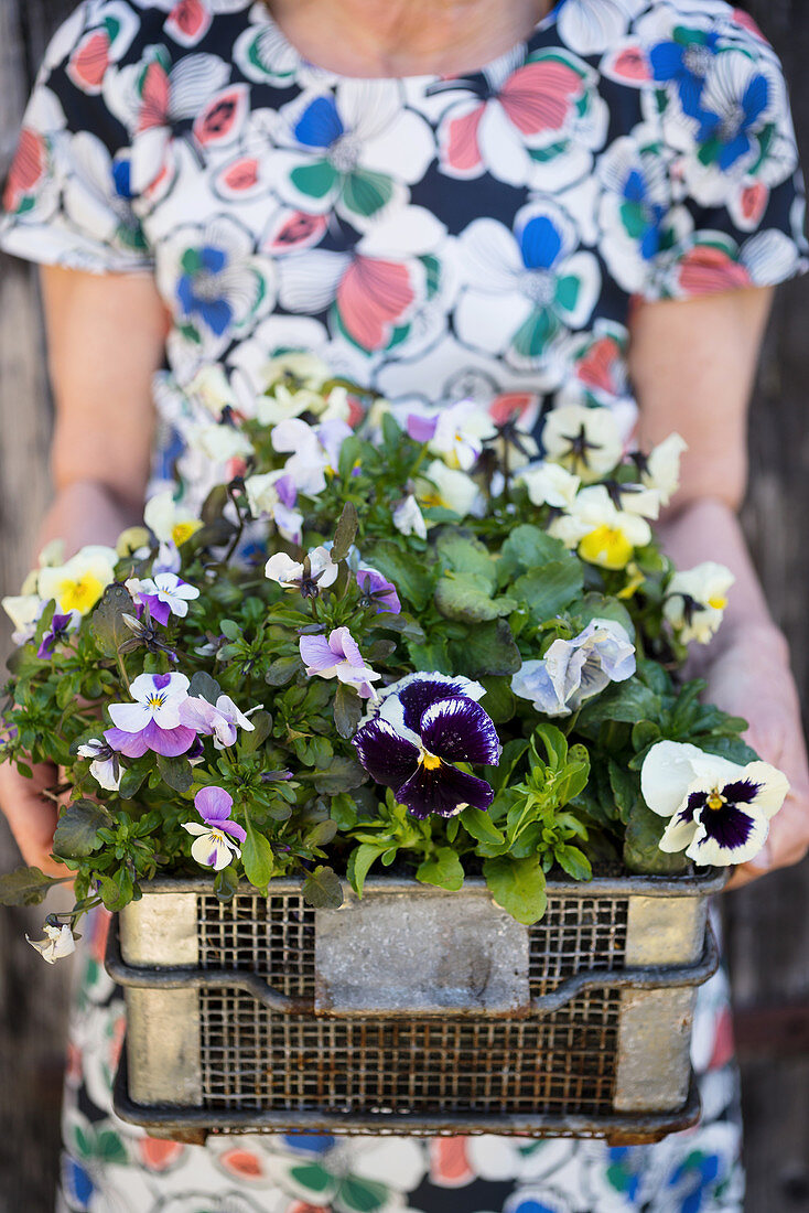 Woman holding wire basket of violas and pansies