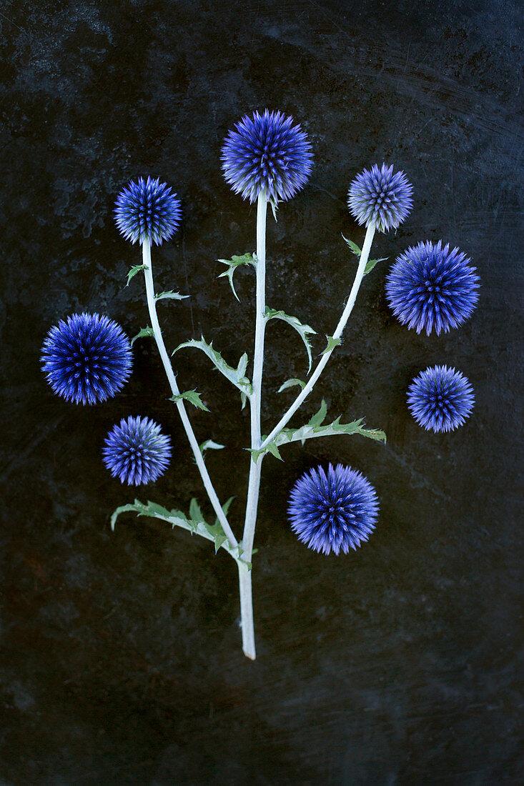 Globe thistle flowers on dark surface