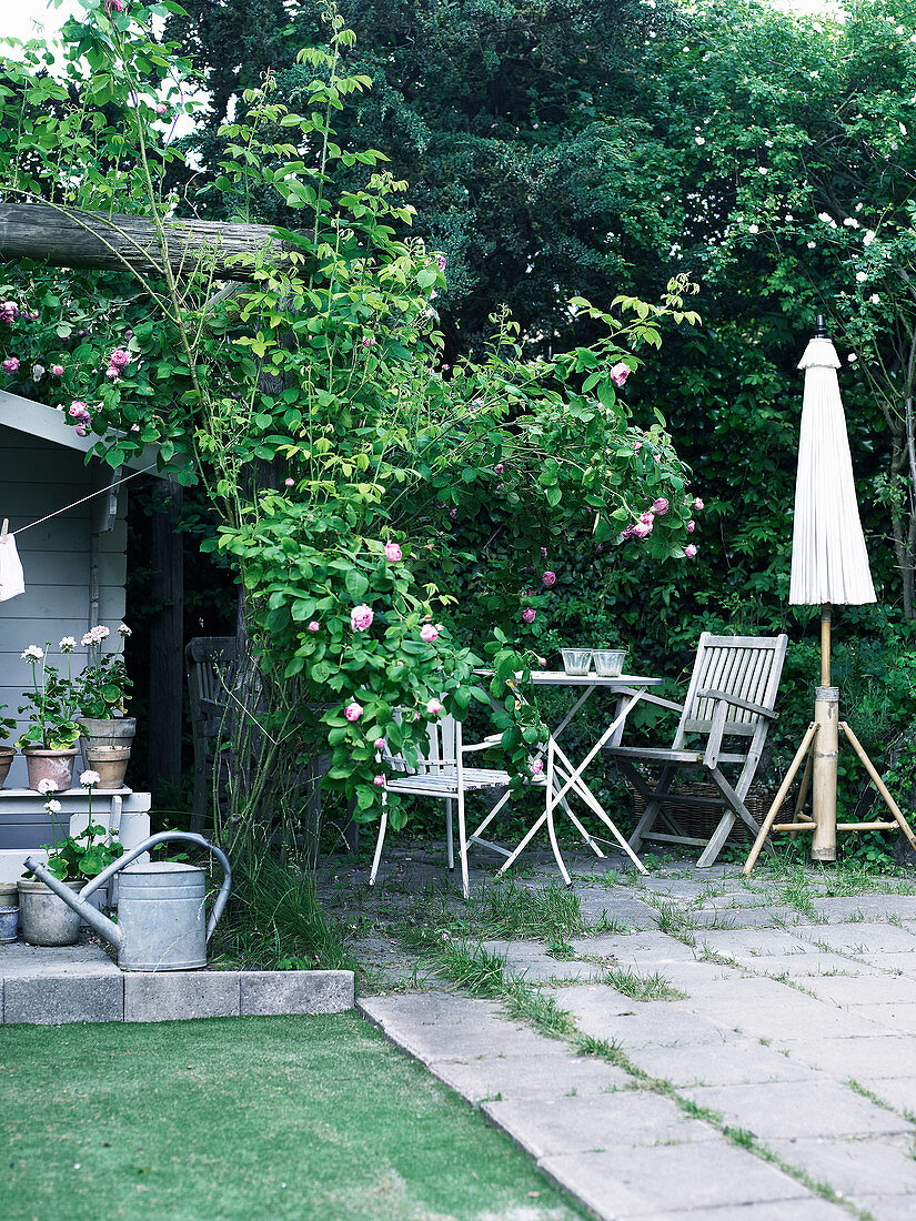 Shady seating area next to shed and flowering climbing rose