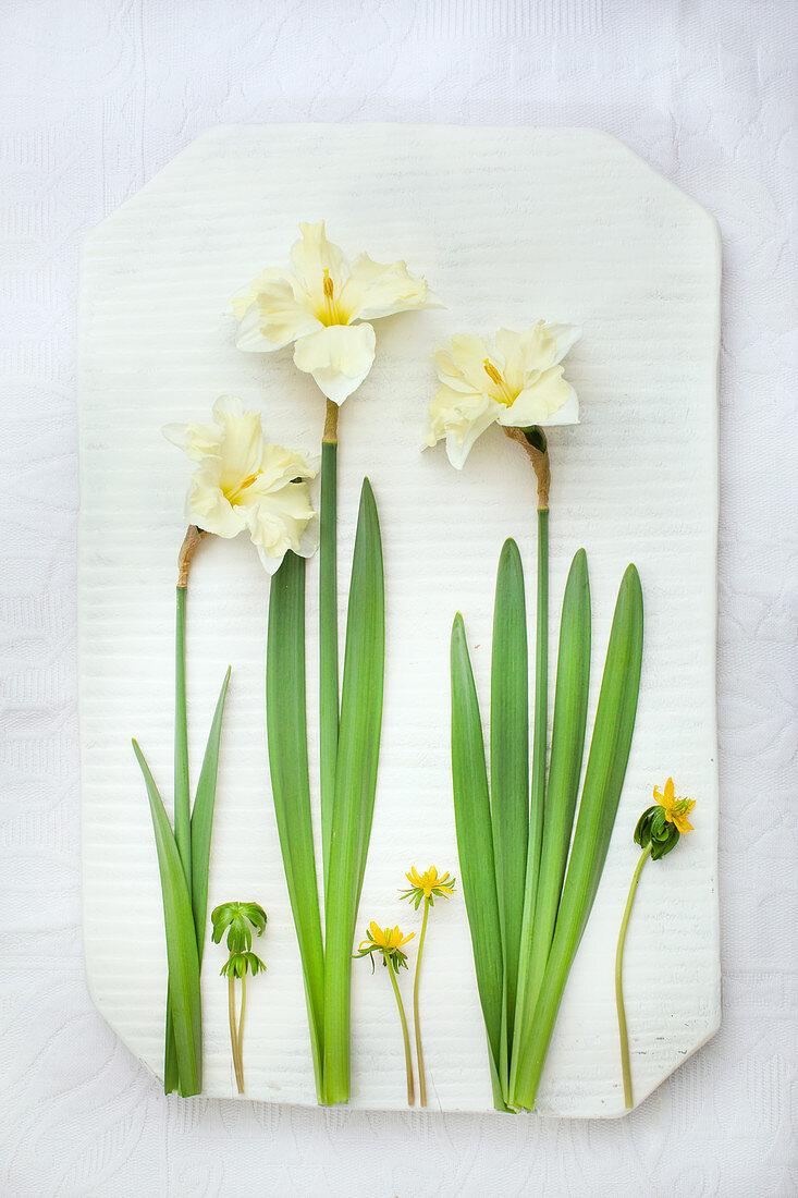 White narcissus (Narcissus Cassata) and winter aconite (Eranthis hyemalis 'Cilicica')