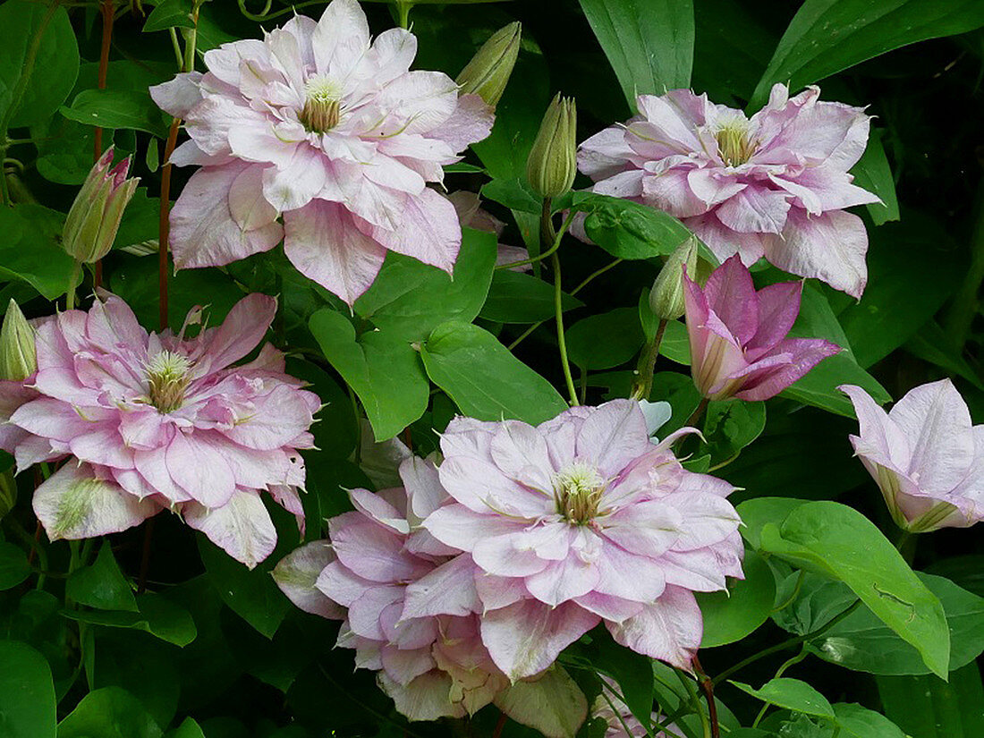 Double flowers of Clematis 'Innocent Glance'