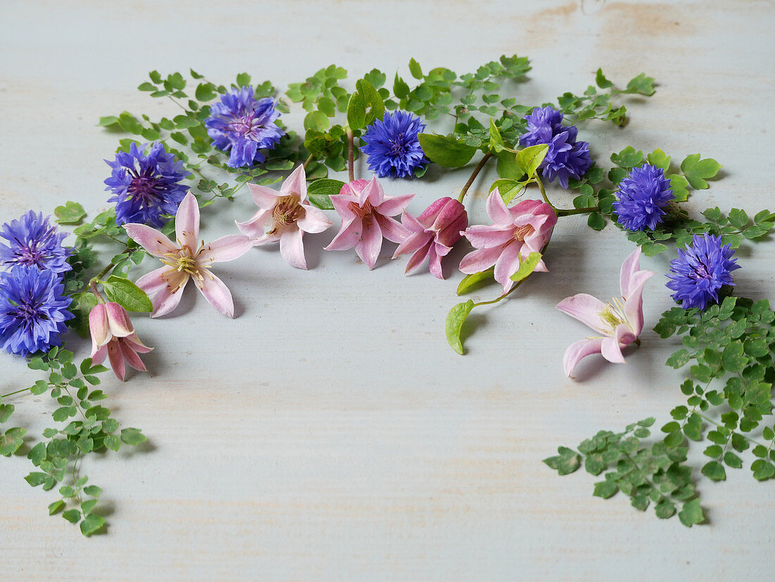 Legebild mit Blüten von Clematis 'Mienie Belle' und Kornblumen, eingerahmt mit Blättern von Frauenhaarfarn