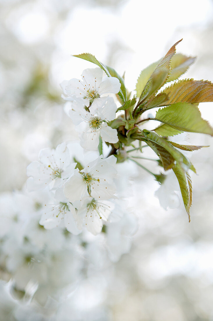 White almond blossom and leaves against blurred background