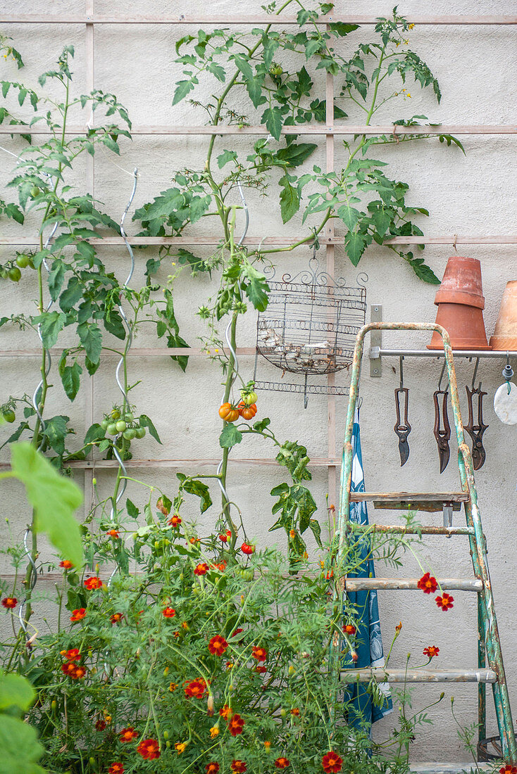 Tomato plants growing on trellis against wall in garden