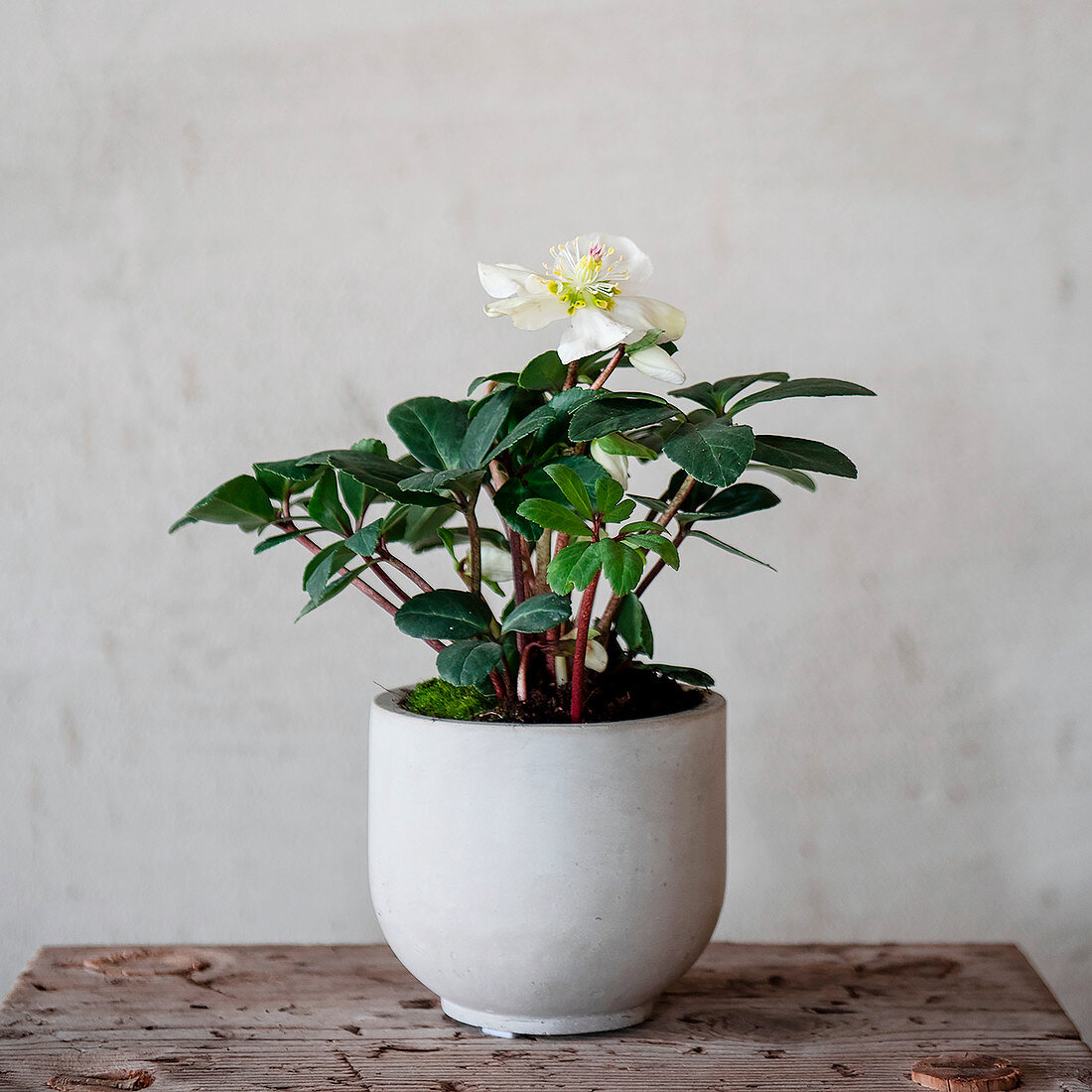 Flowering houseplant in white cache pot