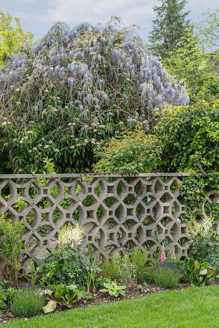 View of wisteria seen over decorative concrete fence