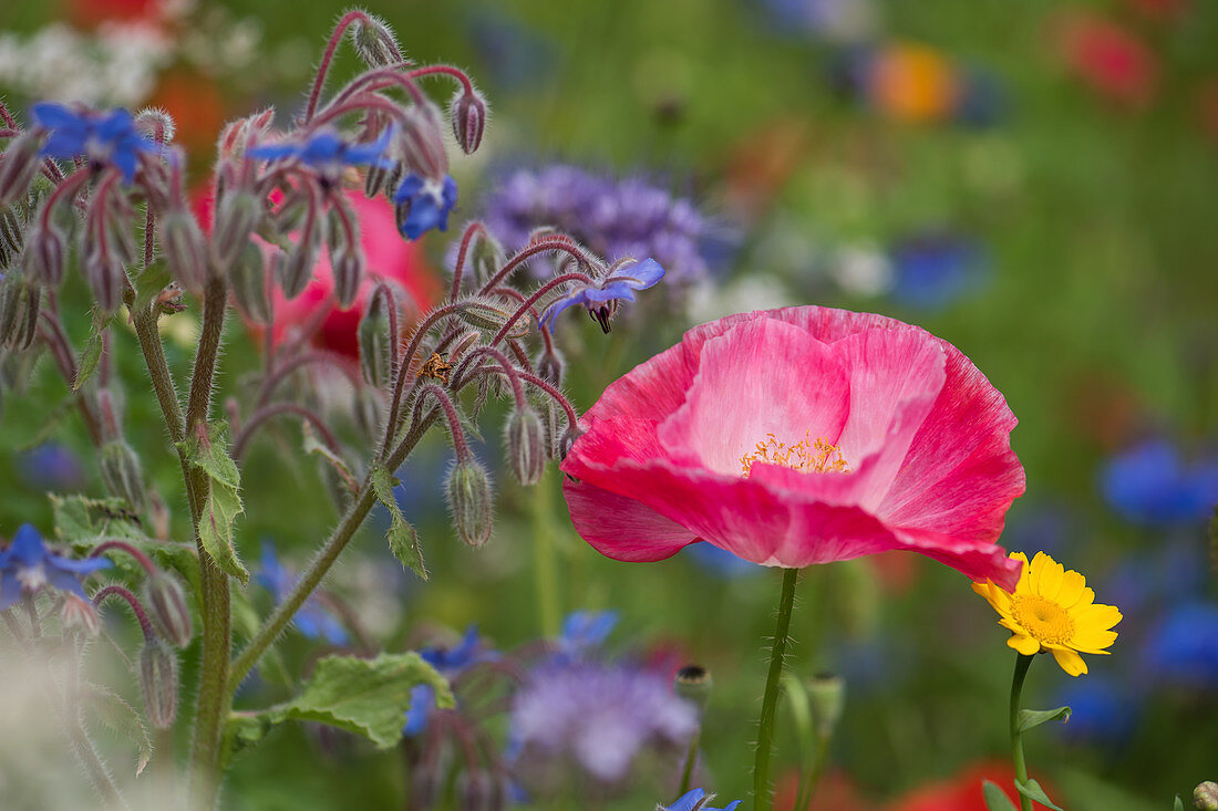 Flowers bed of borage, corn poppy, and wildflowers