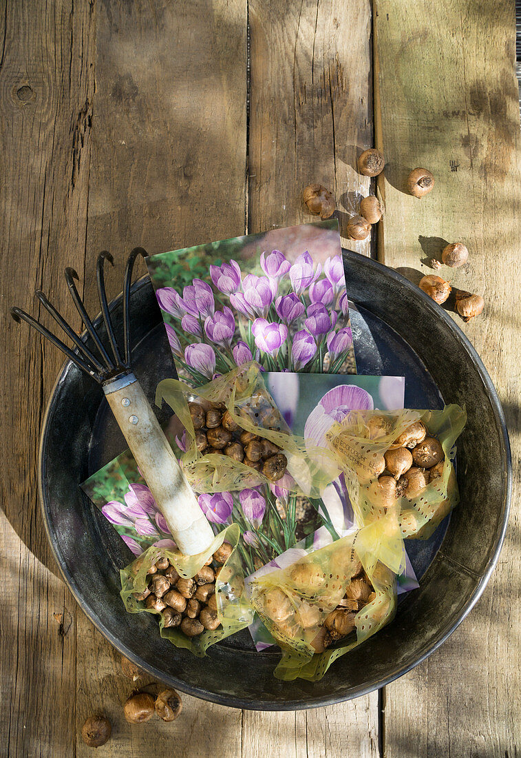 Crocus bulbs for planting and garden cultivator claw in bowl