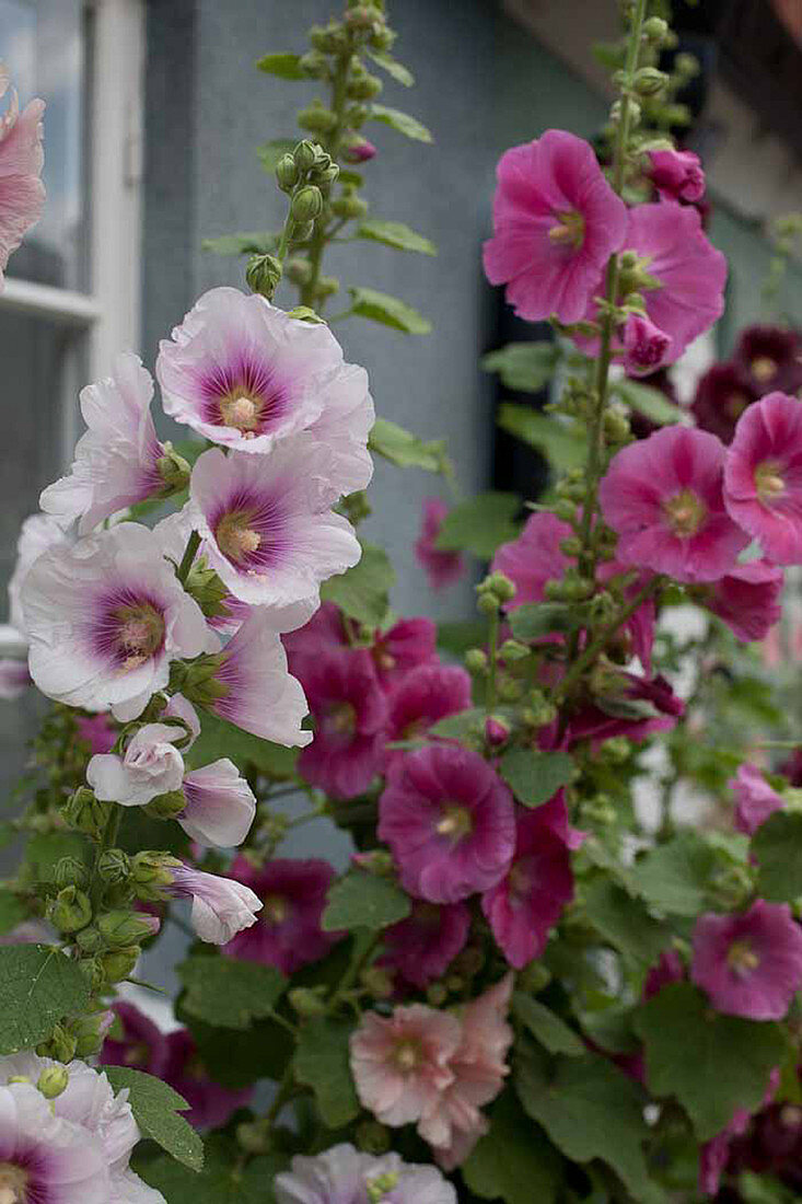 Flowering hollyhocks against house wall