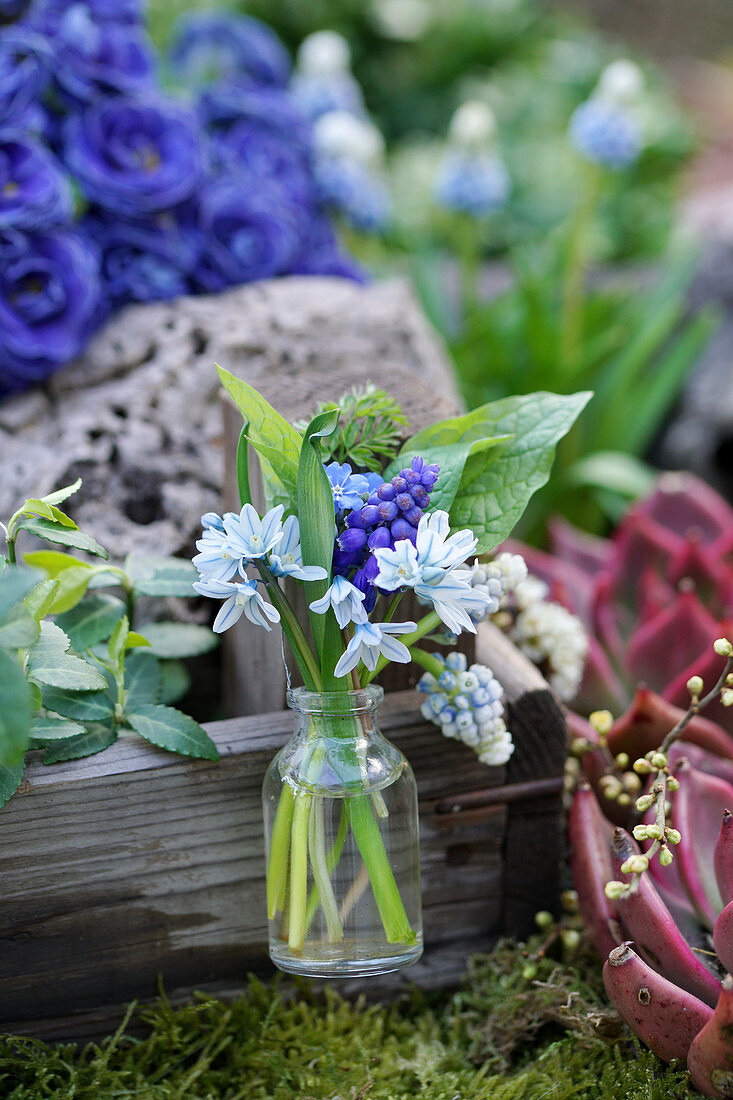 Posy of grape hyacinths, striped squill and leaves in glass bottle
