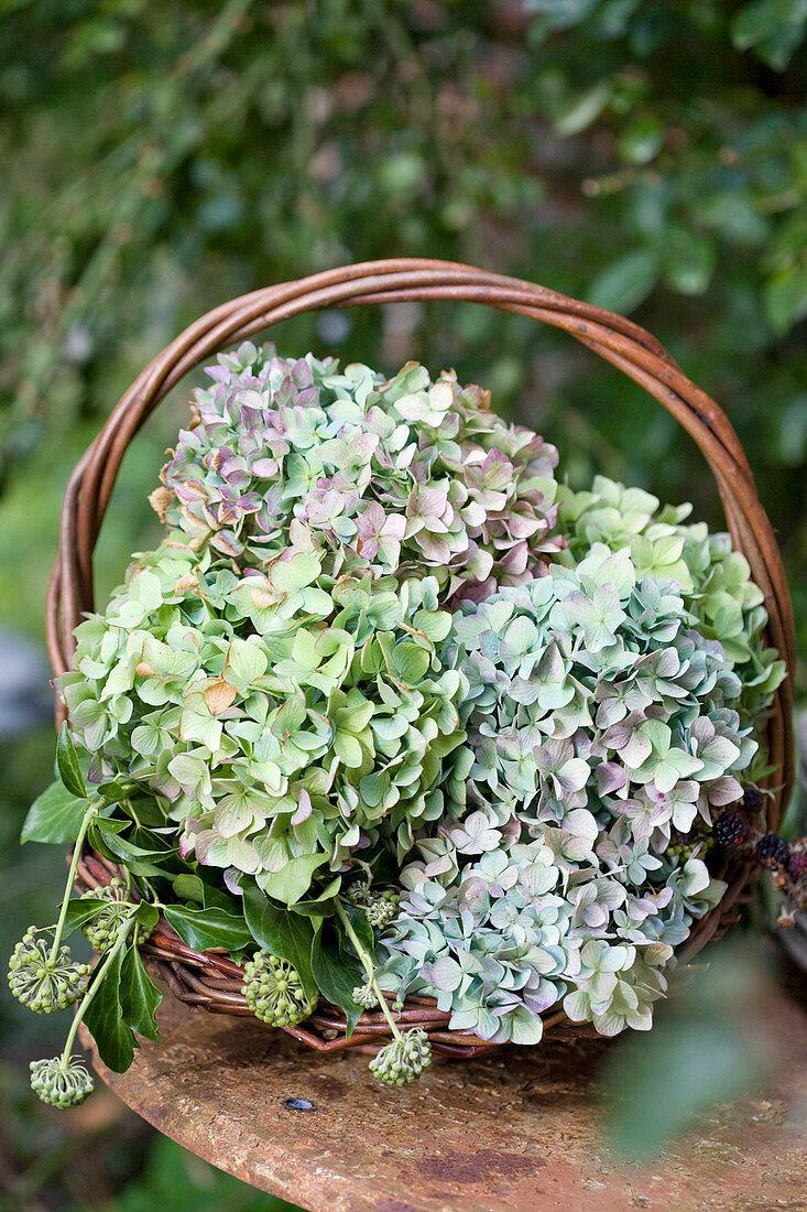 Hydrangeas in green and purple in a basket in the garden