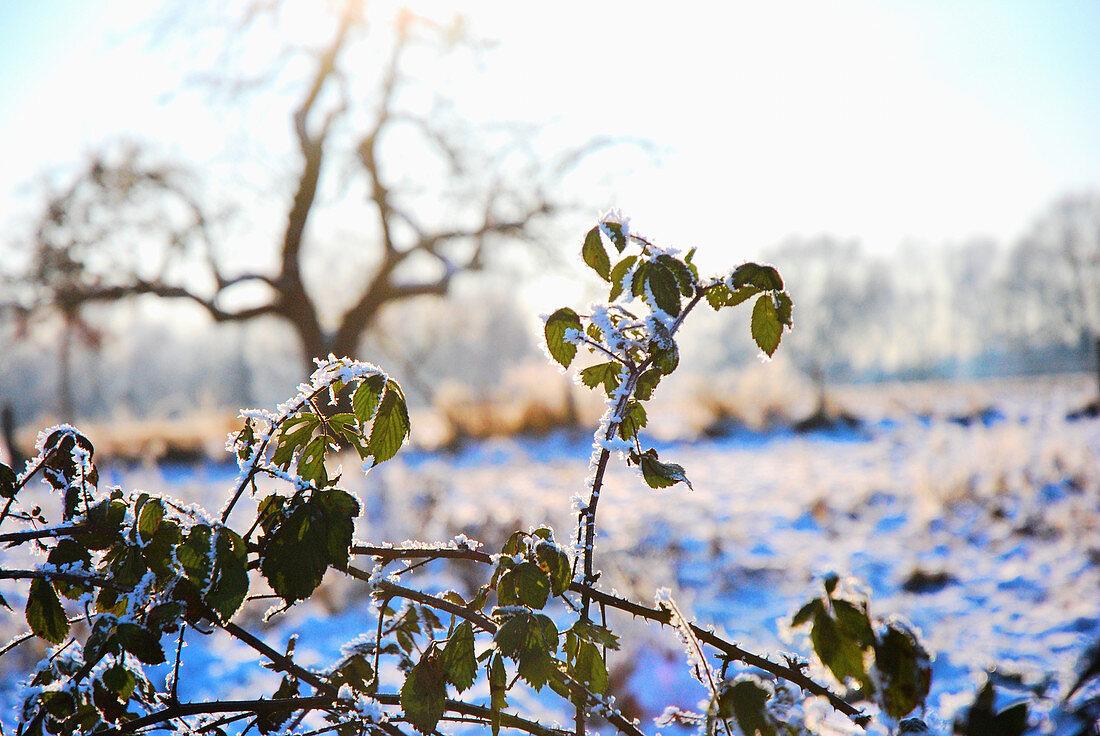 Rose bush covered in hoar frost