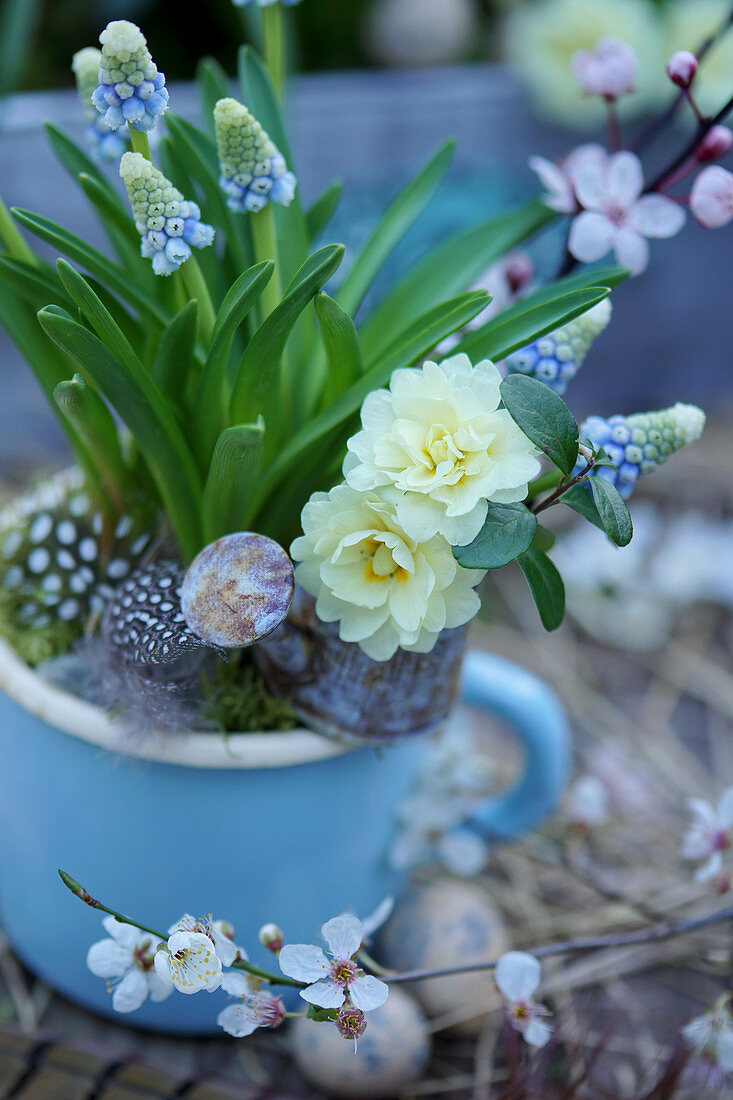 Grape hyacinth in a blue enamel cup, flowers of filled primrose in a mini watering can