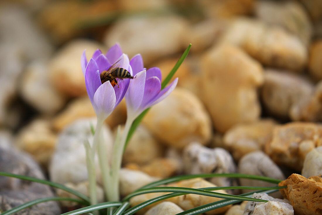 Bee on an early crocus