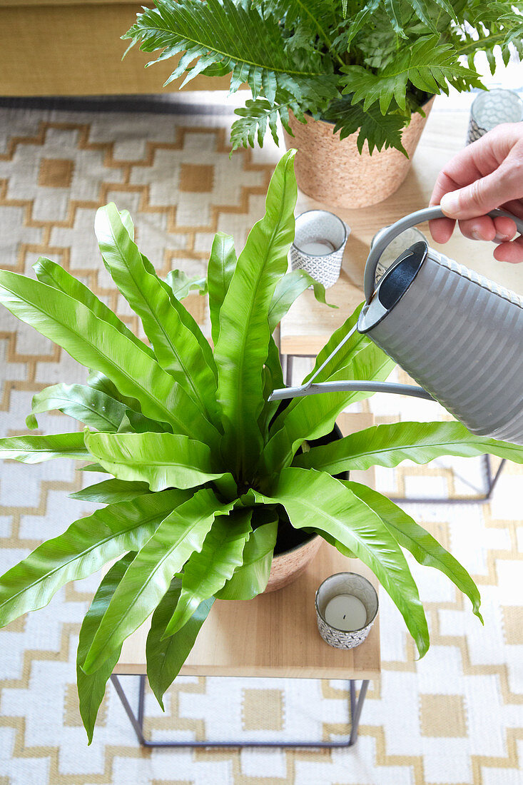 Watering a bird's-nest fern in the centre