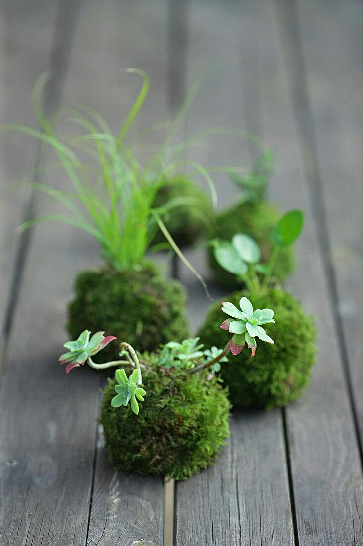 Kokedama: Plants in moss balls on the garden table