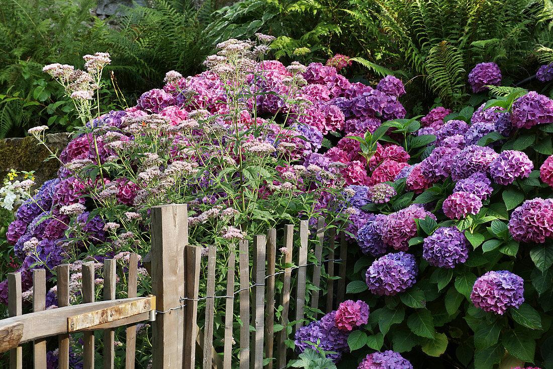 Hydrangeas and boneset (Eupatorium) growing either side of garden fence