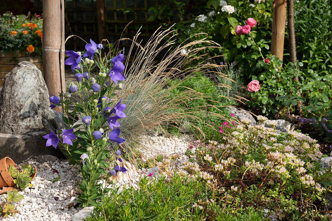 Small gravel bed with balloon flowers, ornamental grass, and ground covers