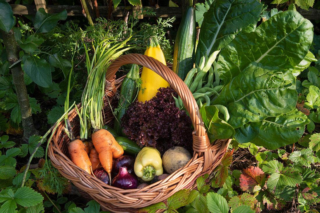 Vegetable harvesting in an allotment garden