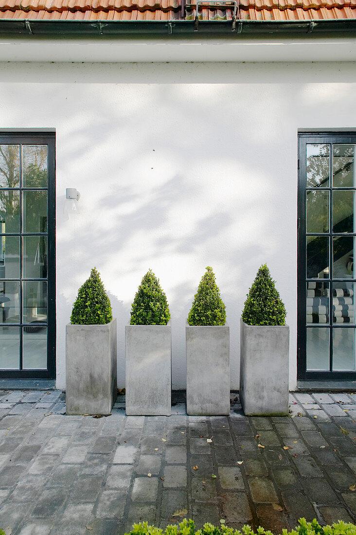 Box bushes in concrete planters on terrace