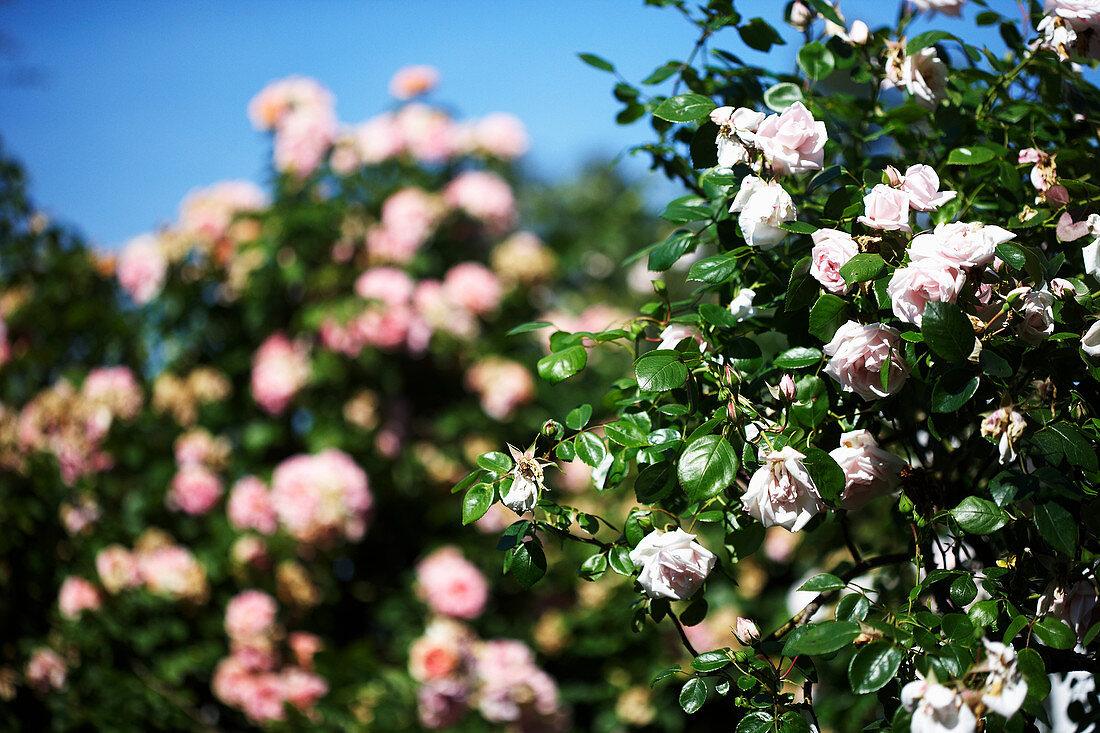 Flowering shrub rose in garden