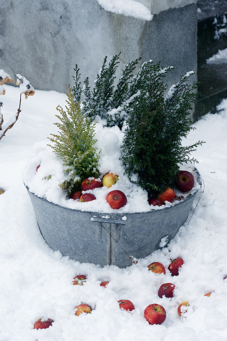 Conifers and apples in zinc tub in snow