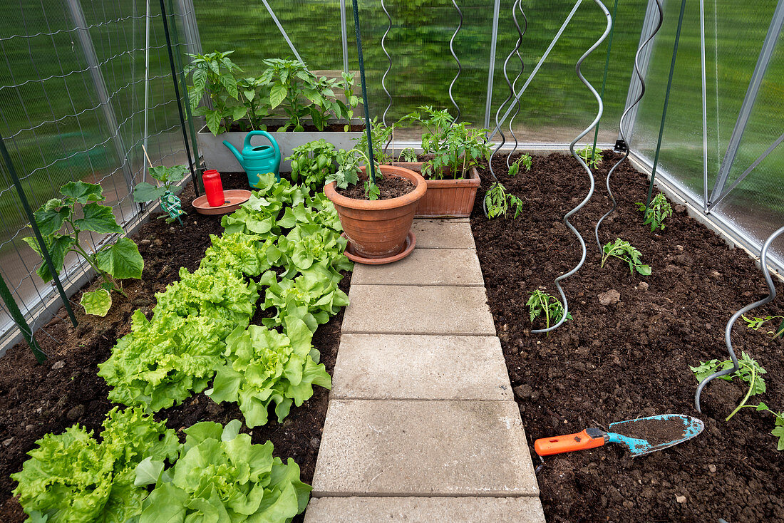 Greenhouse with lettuce, cucumber plants, and tomato seedlings with spiral plant supports