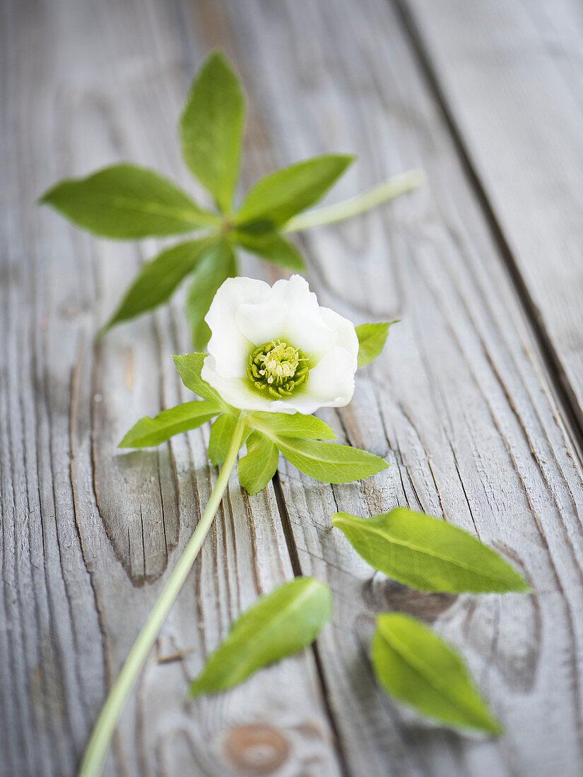 Blüte und Blätter von Lenzrose auf Holzuntergrund