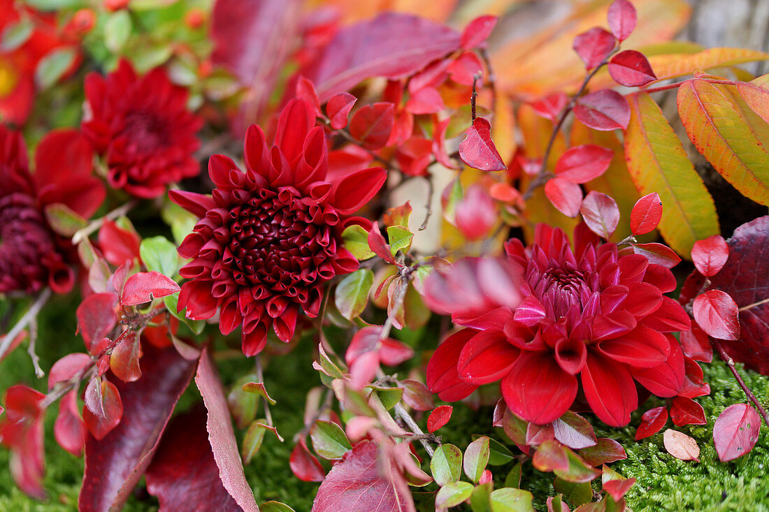 Dahlias and sprigs of leaves