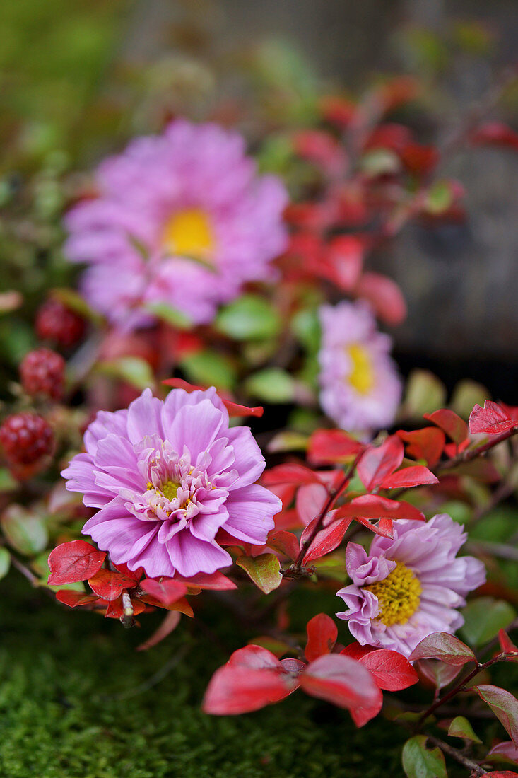 Cosmos and sprigs of leaves