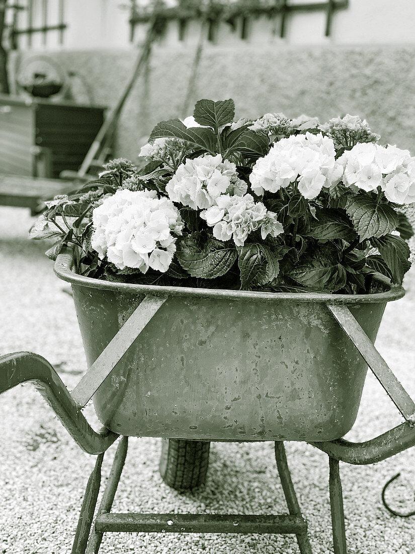 White hydrangeas in a wheelbarrow