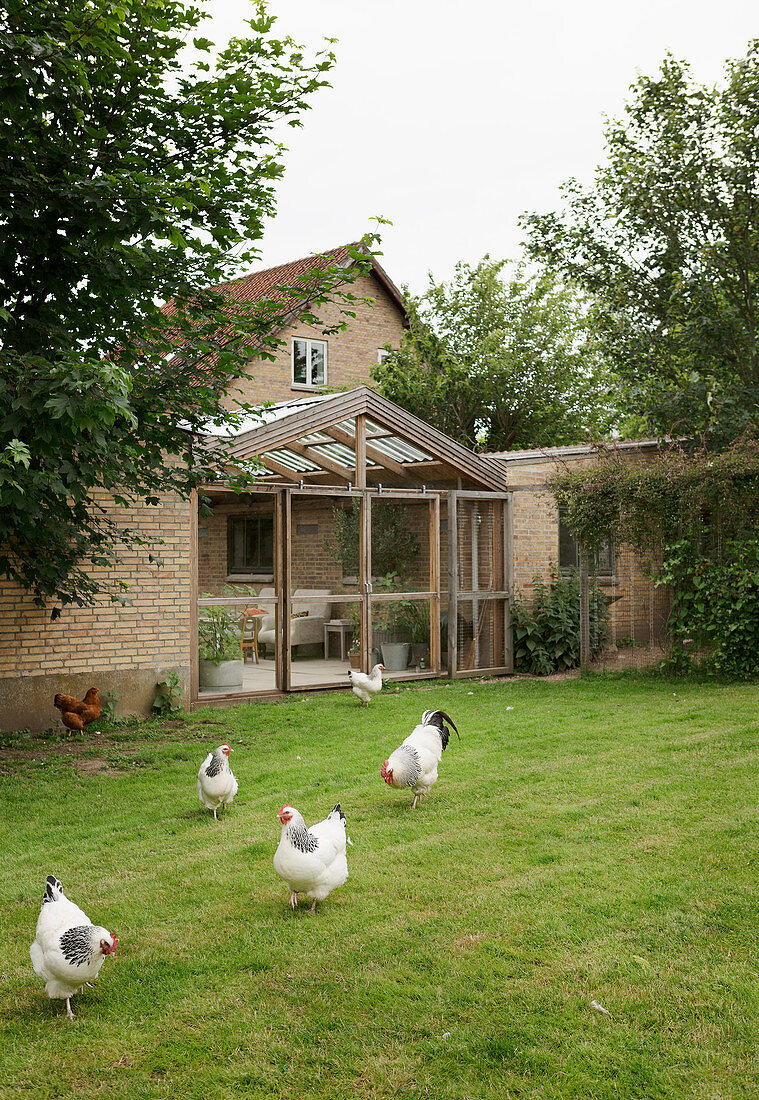Hens on lawn outside brick house with conservatory