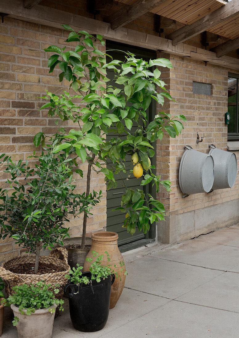 Lemon tree and small olive tree against brick wall